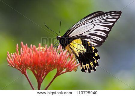 Malayan Birdwing