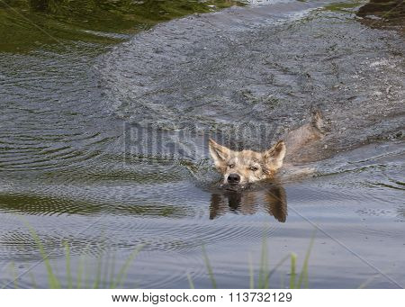 Swimming Wolf Pup
