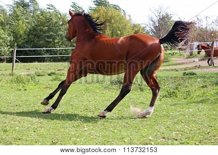 Beautiful Arabian Stallion Galloping On Summer Pasture
