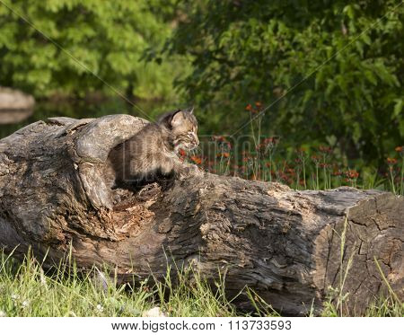 Bobcat Kitten Emerging from Hole in Log