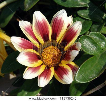 Gazania Flower field