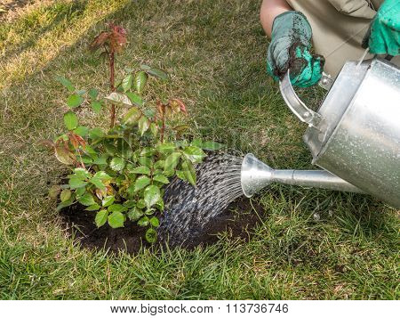 Female gardener watering rose shrub after planting it in in her backyard garden