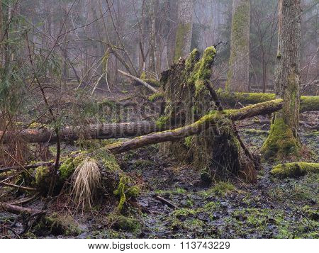 Early Spring Morning In Forest With Mist And Broken Tree