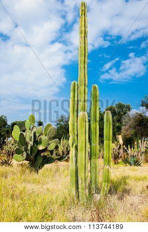 Giant saguaro cactus  in Teotihuacan, Mexico.
