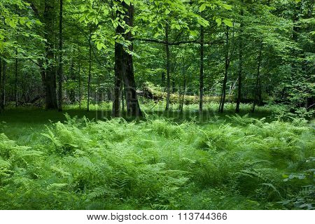 Shady Deciduous Stand Of Bialowieza Forest In Springtime