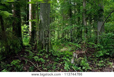 Natural Stand Of Bialowieza Forest Landscape Reserve
