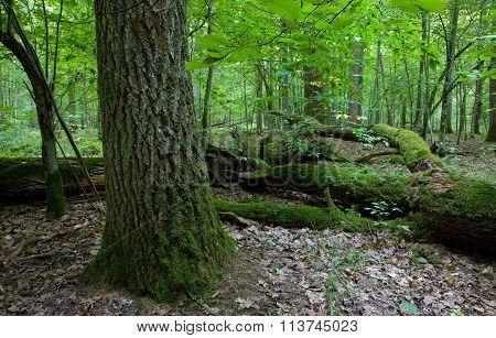 Large Broken Branch Lying Behind Of Old Oak