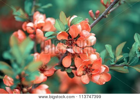 Spring Blossoms, Pink Flowers Of Almonds. Amygdalus Shrub