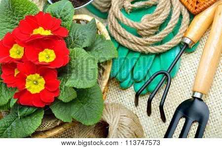 Gardening Tools And Beautiful Red Primula