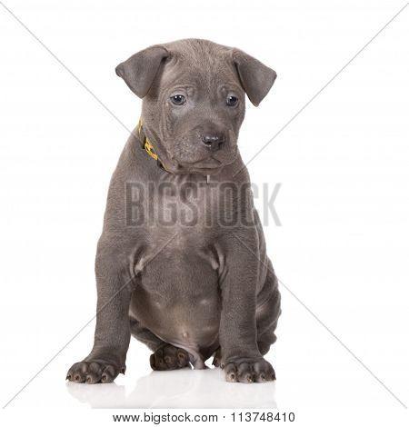 thai ridgeback puppy on white
