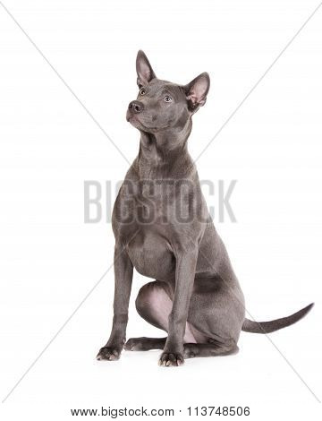 thai ridgeback dog sitting on white