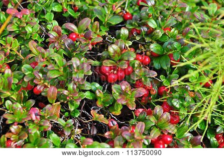 Ripe Cowberries On The Bushes.