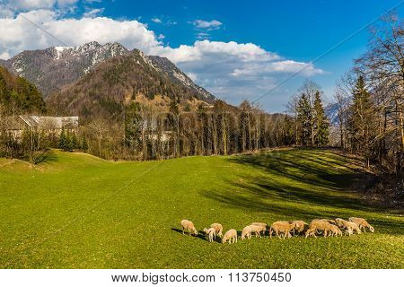 Flock Of Sheeps On The Field-slovenia,europe