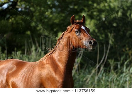 Head Shot Of A Thoroughbred Young Stallion On Summer Meadow