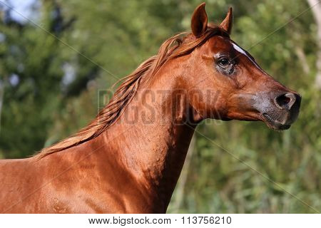 Side View Portrait Of A Galloping Young Arabian  Stallion On Pasture