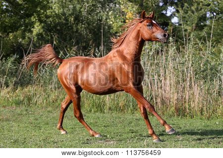 Thoroughbred Young Arabian Stallion Canter On Summer Corral