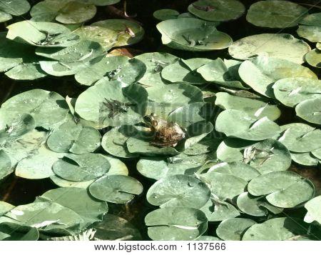 Frog On A Lilipad