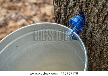 Maple Sap Dripping Into A Bucket