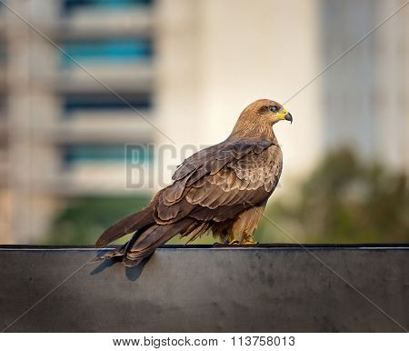 Black Kite Bangalore roof tops.