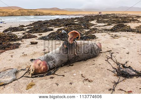 Dead Sea Lion In Paracas National Reserve, Peru