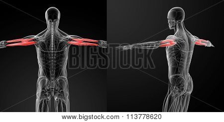 Medical Illustration Of The Triceps Brachii