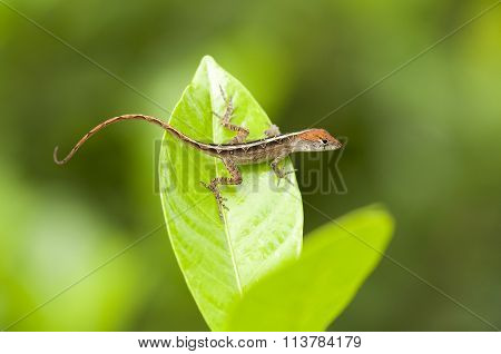 Brown Anole Lizard On A Leaf