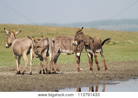 Herd Of Wild Donkeys Playing In The  Meadow