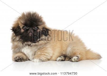 Pekingese Puppy On White Background