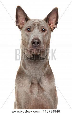 Thai Ridgeback Dog Close-up Portrait
