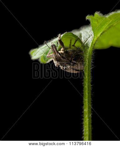 Weevil Climbing On Leaf