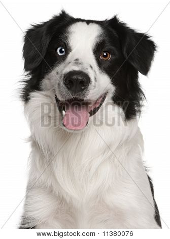 Border Collie (14 Months Old)