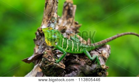 Chameleon With Green Head