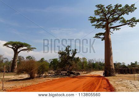 Baobabs In A Madagascar Landscape