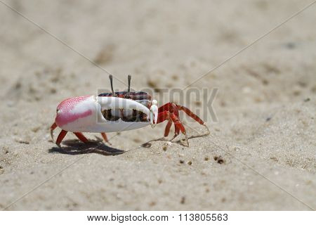 A Fiddler Crab on the beach