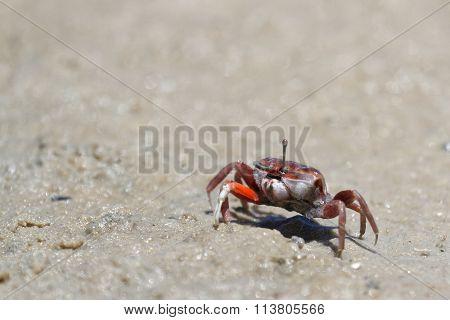 A Fiddler Crab