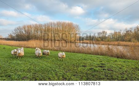 Curious Sheep In An Autumn Landscape With A Small River