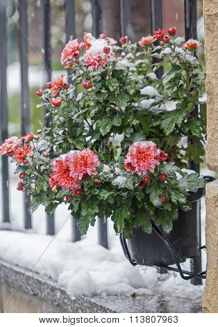 Red Chrysanthemum Bush Covered With Snow. Flowers