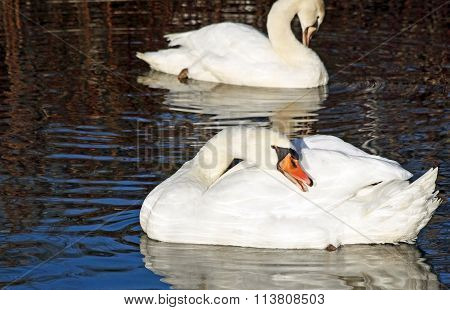 Beautiful Mute Swans preening their feathers while floating on waters surface