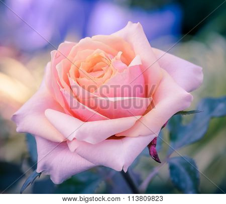 Pink Hybrid Rose