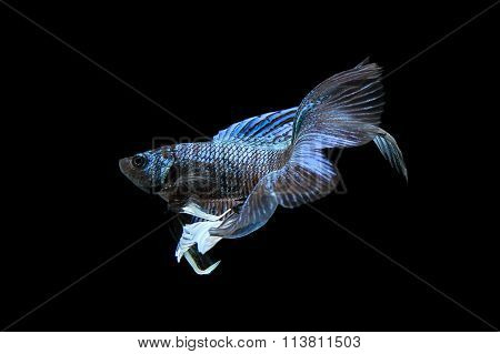 Blue Siamese Fighting Fish, Betta Fish Isolated On Black