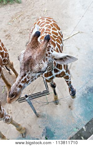 Top View Of Giraffe In Zoo