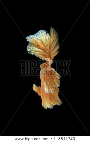 Movement The Tail Of .gold Siamese Fighting Fish Isolated On Black Background. Betta Fish
