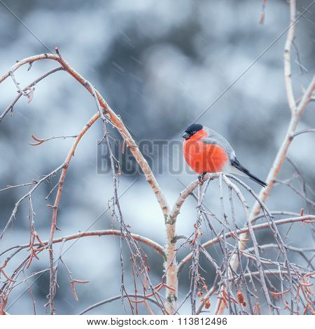 Bullfinch on the tree branch