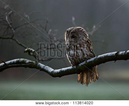 Portrait of a Tawny Owl (strix aluco) sitting on betula pendula branch