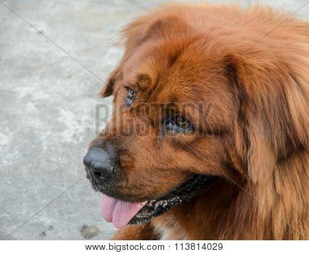 Leonberger Brown Dog