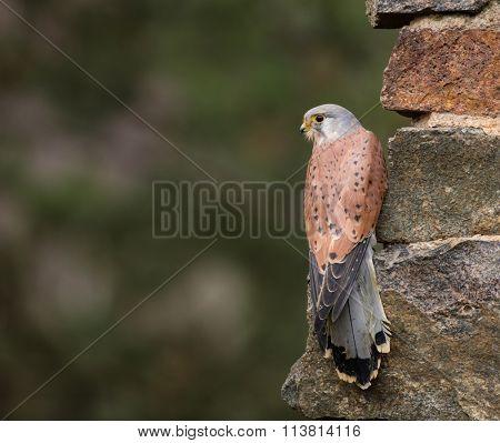 Common Kestrel, Falco tinnunculus sitting on orange autumn forest