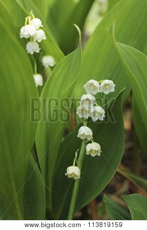 Blooming Lily Of The Valley In The Garden