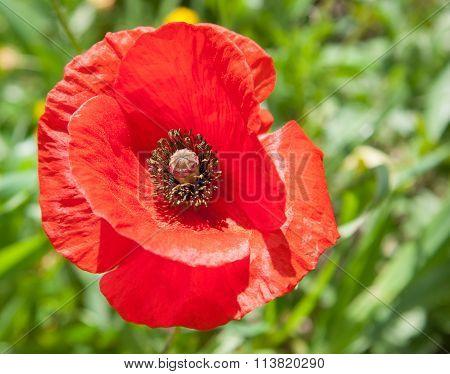 Beautiful Single Red Poppy (papaver Rhoeas) Flower Head In A Green Field In Cyprus