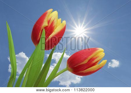 Tulips Red And Yellow Striped, Against Blue Sky With Clouds