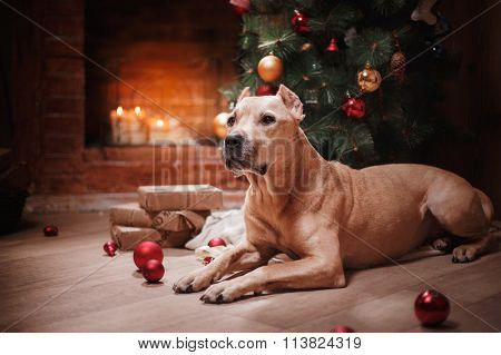 Pit Bull Dog, Christmas And New Year